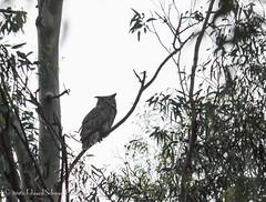 Great Horned Owl at dusk (SchwanSongs) Tags: lagoon owl greathornedowl bubo owlet batiquitos virginianus schwansongs