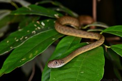 Brown Tree Snake (Boiga irregularis) (shaneblackfnq) Tags: brown tree night eyes rainforest dolls reptile snake tiger rear north australia mossman queensland tropical far tropics venomous fnq fanged colubrid boiga shaneblack irregularis