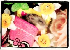 FILIFIONKA  ~ 11th October 2014 - 11th January 2016 (pyza*) Tags: pet animal rodent critter pip hamster fifi syrian hammie chomik filifionka playinpeace