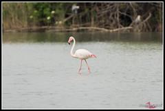 DSC_7614 (torben84) Tags: lake bird birds lago nikon rosa uccelli firenze tamron phoenicopterusroseus avifauna laje aereoporto fenicotteri phoenicopterus roseus fenicottero migrazione peretola 150600 d7200