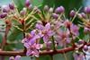 アルディシア・ピラミダリス /Ardisia pyramidalis (nobuflickr) Tags: flower nature japan kyoto 日本 花 thekyotobotanicalgarden 京都府立植物園 awesomeblossoms ヤブコウジ科ヤブコウジ属 アルディシア・ピラミダリス ardisiapyramidalis 20160326p1030718