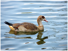 DUCK (abac077) Tags: france bird water animal duck pond eau oiseau 62 etang 2014 pasdecalais saintomer lemaraisaudomarois