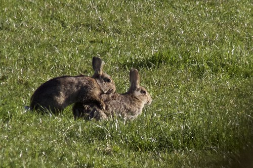 Image result for mating rabbits