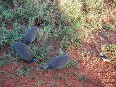 Safari (robseye76) Tags: africa park holiday bird birds kenya safari national vacations kenia tsavo wakacje afryka