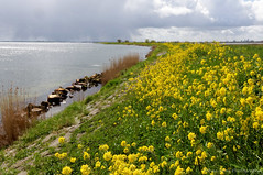 Yellow carpet on the dike (Johan Konz) Tags: flowers sky reed water netherlands field yellow clouds landscape shower spring rocks outdoor dike springtime waterland waterscape rapeseed ijmeer seadike uitdammerdijk kinselmeer