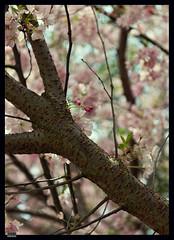 Sakura (3) (***RM***) Tags: flower tree nature beautiful beauty japan garden outside spring nikon dof cherryblossom sakura nikkor fragile d600 2470