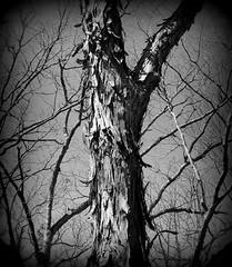 IMG_7612 (Mat_B) Tags: park white black tree texture nature photography holga spring natural state hills bark area marsh shaggy pike moraine
