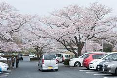 Bloomed (Wunkai) Tags: japan parkinglot  cherryblossom sakura    gokokushrine  ibarakiken mitoshi