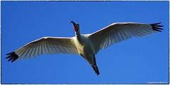 White Ibis in flight (eyes closed) (RKop) Tags: a77mk2 minolta600mmf4apog jndarlingnwr sanibel florida raphaelkopanphotography sony wildlife