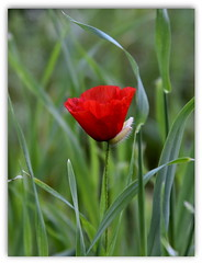 a lonely poppy ... (miriam ulivi) Tags: flowers red green nature grass erba poppy fiori papavero nikond7200 miriamulivi