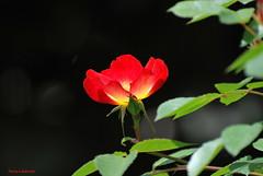 .... MAGGIO ... (Fulvia e Gabriele : ) ....) Tags: rosa natura fiori adda concesa