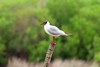 mouette rieuse (TATIUMZI) Tags: france eau sony tokina marais oiseaux sudouest aquitaine gironde leteich sonyalpha tokina30028 sonyalpha700