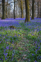 Spring Bluebells (sarah_presh) Tags: flowers blue trees bluebells spring woods pretty purple path surrey april dorking abinger surreyhills whitedown whitedownlane nikond750