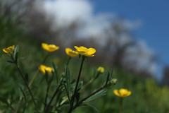printemps (bulbocode909) Tags: nature fleurs vert bleu ciel printemps herbes