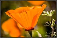 (K-Szok-Photography) Tags: california flowers orange canon outdoors poppy poppies 5d canon5d canondslr goldenpoppy flowercolors kenszok kszokphotography