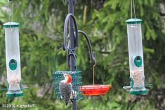 Red-bellied Woodpecker (rugby4all) Tags: spring nikon redbelliedwoodpecker fingerlakes d90 nikon105mmf28gedifafsvr