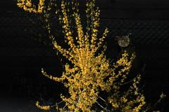 Forsythie (Rüdiger Stehn) Tags: polarisationsfilter polfilter altenholz 2016 2000er 2000s europa mitteleuropa deutschland norddeutschland germany schleswigholstein natur forsythie blüten strauch zierstrauch gartenforsythie goldflieder goldglöckchen asteriden euasteriden lippenblütlerartige lamiales ölbaumgewächse oleaceae forsythieae forsythien forsythia pflanze gehölz canoneos550d rüdigerstehn altenholzstift