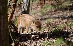 Wild Boar piglet (Clare_leeloo) Tags: nature wildlife piglet mammals forestofdean wildboar