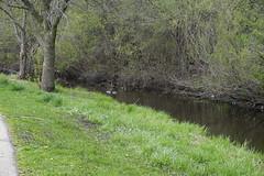 032.Mallard-park (aetherspoon) Tags: park duck mallard greentree
