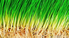 Sprouts (mark.aizenberg) Tags: plants abstract green texture apple grass pattern sprouting iphone6s