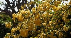 Primavera (Bardazzi Luca) Tags: italy flower primavera rose yellow spring italia rosa giallo firenze fiori toscana bagno petali rosi controluce ripoli siepe