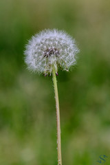 100:365 - 04/25/2016 - Dandelion (Shardayyy) Tags: nikon potd photoaday 365 d800 70200mm project365 365project