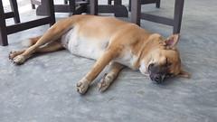 Koh Samui Sleeping Dog (soma-samui.com) Tags: dog thailand kohsamui  lomprayah