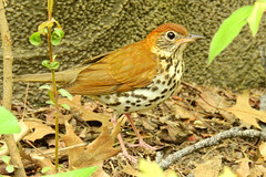 Central Park: Wood Thrush (donna lynn) Tags: newyorkcity brown ny nature birds spring nikon centralpark p900 urbanwildlife april ramble 2016 migrants woodthrush hylocichlamustelina
