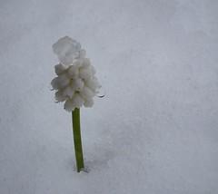 Not quite Spring (ghisan) Tags: white snow cold hyacinth grapehyacinth whitehyacinth jgblp