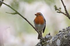 Roodborst - European Robin - Erithacus rubecula (marcdeceuninck) Tags: birds erithacusrubecula vogels europeanrobin roodborst natuurfotografie rougegorgefamilier
