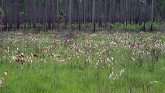 Pitcher Plant Bog (bamboosage) Tags: macro mamiya m42 28 60 preset sekor 11macro