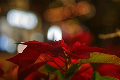 Focus on one thing, and one thing only (PeterThoeny) Tags: california plant blur flower night lights raw bokeh poinsettia sanjose depthoffield santanarow hdr shallowdepthoffield christmasflower photomatix fav200 1xp nex6 sel50f18
