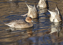 Northern Pintail (Female) (Neal D) Tags: reflection bird female duck bc surrey crescentbeach northernpintail anasacuta blackiespit