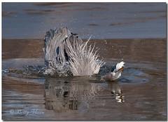 Great Blue Heron (Betty Vlasiu) Tags: blue bird heron nature wildlife great ardea herodias
