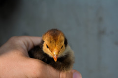 28102015-DSC_0807 (Murillo Raggio) Tags: galinha farm pintinho
