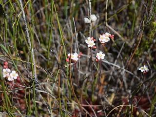 Drosera spatulata in flower