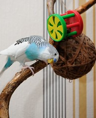 budgerigar (koko2twins) Tags: blue pet color bird nature animal fauna funny little small wing beak young feather vivid parrot chick exotic breeding budgerigar budgie tropical amusing lovebird tame roost plume plumage companionship feathering wildwildlife