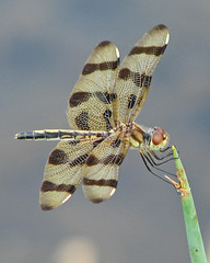 lady Halloween (Vicki's Nature) Tags: brown female yard canon georgia golden dragonfly stripes s5 halloweenpennant 9965 vickisnature