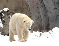 Luna's Mom Strolls (Jay Costello) Tags: bear white ny newyork animal zoo buffalo arctic polarbear hunter predator ursa buffalozoo mamal ursine
