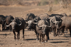 SK7_6238 (glidergoth) Tags: park south safari national zambia waterbuffalo luangwa mfuwe bubalusbubalis