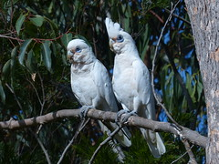 Corellas (teressa92) Tags: two white tree leaves branch australian cockatoo teressa92