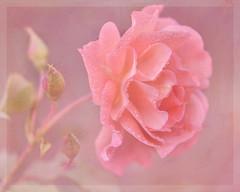 Rose to my friends. (BirgittaSjostedt.- AFK, back Feb 15) Tags: plant flower art texture nature rose closeup paint unique pastel drop petal card serene ie magicunicornverybest birgittasjostedt