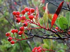 Heteromeles arbutifolia, CHRISTMAS BERRY, TOYON (openspacer) Tags: berry shrub rosaceae heteromeles toyon jrbp jasperridgebiologicalpreserve