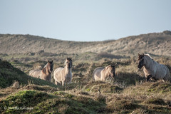 Saying hello (Monika Kalczuga (v.busy)) Tags: horses holland nature netherlands grass animals landscape outdoor dunes grassland duinen wildhorses noordholland denhelder paarden wildanimals huisduinen konik konikpaarden