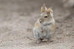 Raton Orejudo Boliviano (ik_kil) Tags: chile mouse mammal altiplano ratita roedor lauca lagochungara auliscomysboliviensis regindearicayparinacota auliscomys ratonorejudoboliviano bolivianbigearedmouse