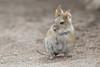 Ratón Orejudo Boliviano (ik_kil) Tags: chile mouse mammal altiplano ratita roedor lauca lagochungara auliscomysboliviensis regióndearicayparinacota auliscomys ratónorejudoboliviano bolivianbigearedmouse