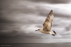 StormCrow - Image of the Year 2015 Runner Up (Sarah_Brooks) Tags: sky storm bird weather birds clouds mono wings moody seagull flight wing feathers birdsinflight awards guild stormcrow herringgull imageoftheyear