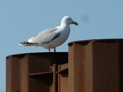 Möwe_FöhrPollerJPG (strallermann) Tags: vögel nordsee möwe
