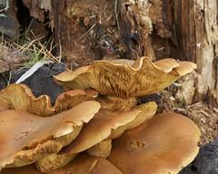 Fungus (swedg) Tags: mushrooms oakland jackolantern fungus redwood gills ebrpd redwoodregionalpark