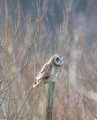 Short eared owl (ian._harris) Tags: bird digital nikon raptor owl d750 hertfordshire herts shorteared